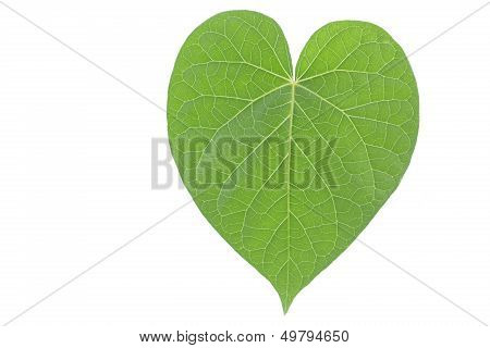 Single heart shaped green leaf
