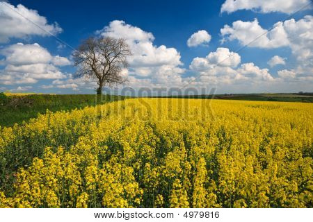 Oilseed Rape Crop And Blue Sky