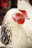 image of hen house  - Traditional free range poultry farming - JPG