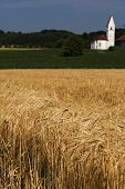 Barley field (Hordeum vulgare) with small church