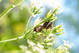 stock photo of coitus  - two bugs copulate on flower stem in forest macro - JPG