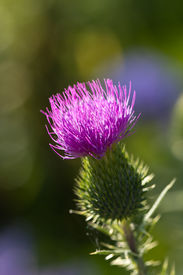foto of scottish thistle  - Milk thistle in all its glory  - JPG