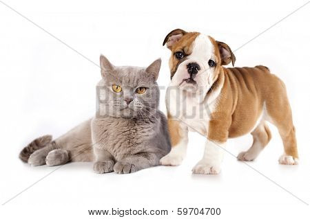 British kitten rare color (lilac) and english bulldog, cat and dog