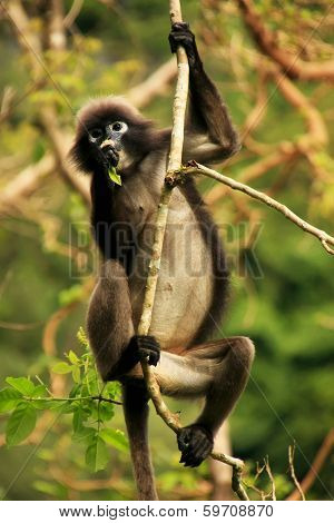 Spectacled Langur Sitting In A Tree, Ang Thong National Marine Park, Thailand