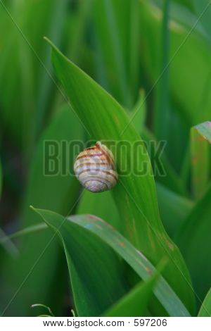 Snail On The Leaf Of Lily Of The Valley