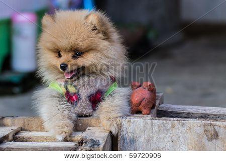 Puppy Pomeranian Garb