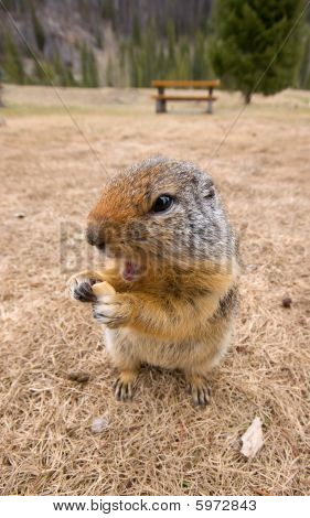 Ground Squirrel Eating Food