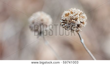 Thistle In The Winter In Soft Focus
