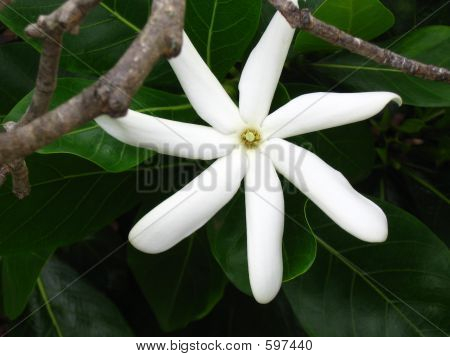White Flower Of Hawaii