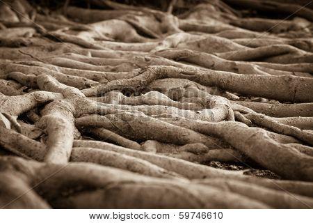 Banyan Tree Root