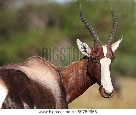 Bontebok Antelope Portrait