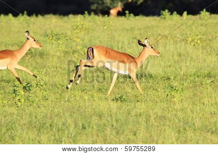 Impala - Wildlife Background from Africa - Blur of Speed