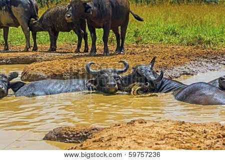 Male And Female Cape Buffalo In A Water Hole