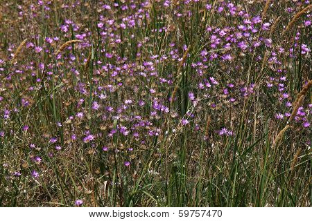Violet Flowers On Meadow