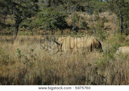 African rhino grazing