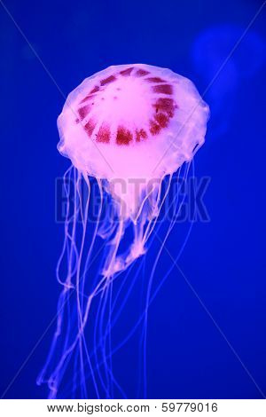 Pink Jellyfish In Deep Blue Sea