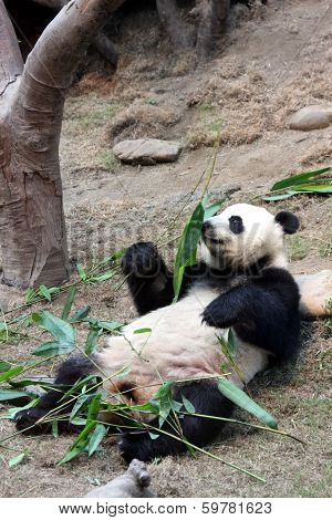 giant panda smelling bamboo leaves
