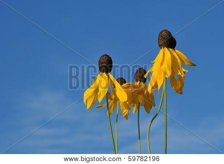 Yellow prairie coneflowers