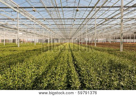 Many Small Chrysanthemum Plants In A Very Big Chrysanthemum Nursery