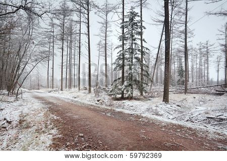 Spruce Tree In Naked Winter Forest