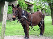 foto of mule  - Old mule used for towing river boats on the canal in Illinois - JPG