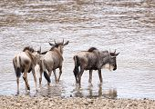 Wildebeests Entering Into Water For Crossing River