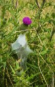 Scotch Thistle Spiders Nest