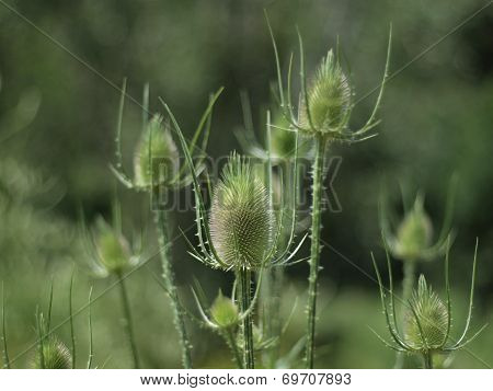 Green Thistles