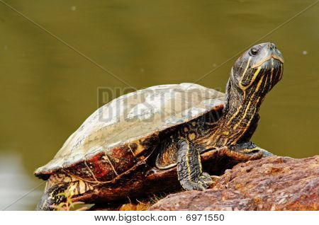 young tortoise resting at the pond side