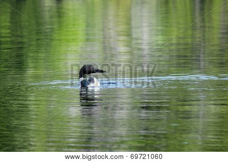 Single Loon on a Lake
