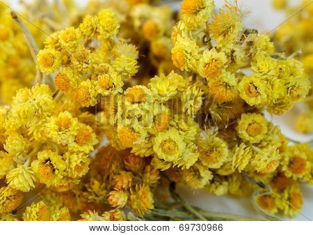 Dried Flowers Of Helichrysum