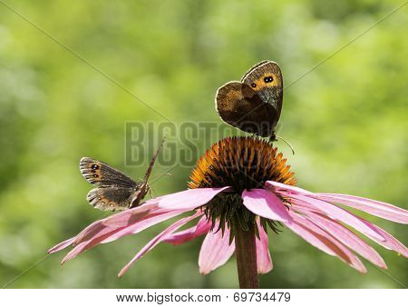 Couple of Gatekeeper butterflies on a pink cone-flower