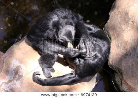 Aerial View Of Two Siamangs Grooming On Rocks - Hylobates Syndactylus