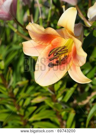 Pink Orange Lilies