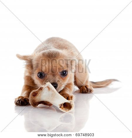 Chihuahua , 5 Months Old. Chihuahua Dog Isolated On White Background.  Dog With Bone Isolated On Whi