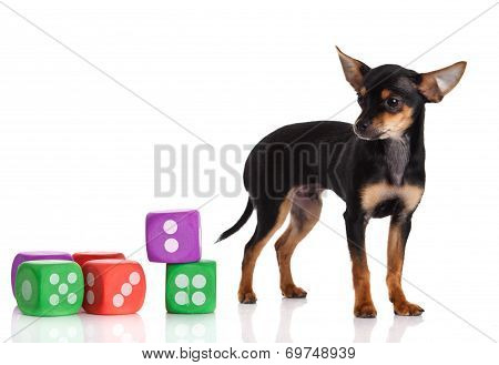 Chihuahua , 5 Months Old. Chihuahua Dog With  Dice Isolated On White Background.