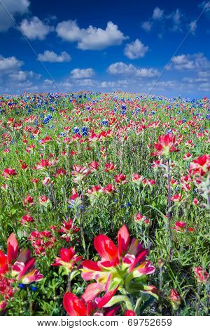 Field Of Bluebonnets And Indian Paintbrush Wildflowers