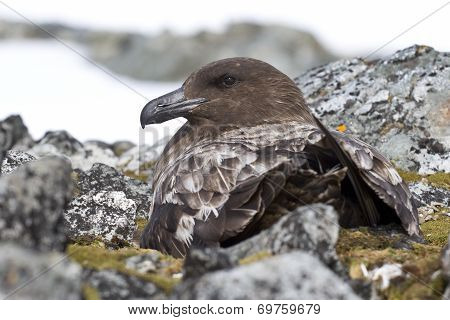 Female Antarctic Or Brown Skua That Sitting On The Nest