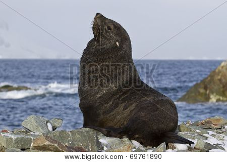 Fur Seal That Sits On A Rocky Beach Antarctic Islands