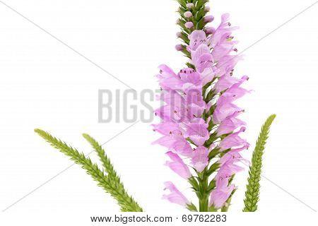 Pink Physostegia flower