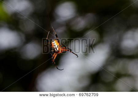 Orange Spider With Black Legs