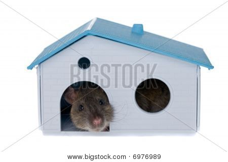 Rat In A Small House