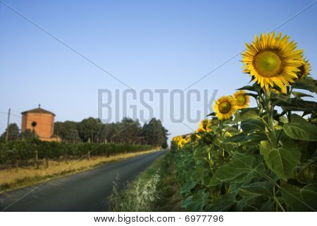 Field Of Sunflowers Next To Road