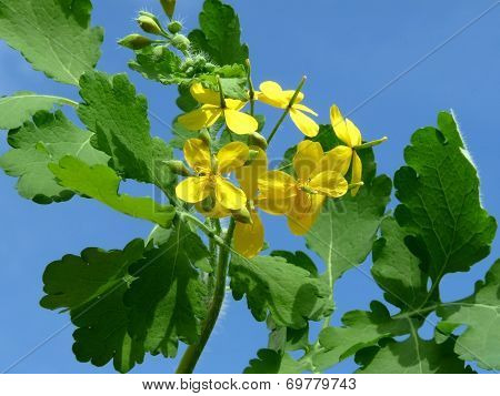 Blooming Celandine. Medicative Herb
