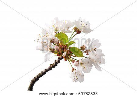 Flowering Cherry (prunus Avium)