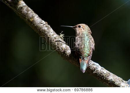 Rufous Hummingbird Resting On A Branch