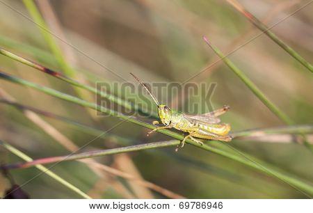Green Grasshopper Sit On A Grass Straw