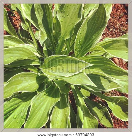 Hosta Plant - With Instagram effect