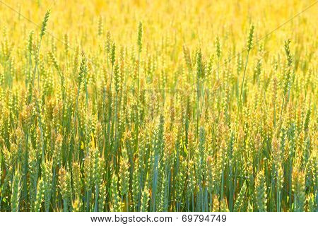 Farmer field of wheat background