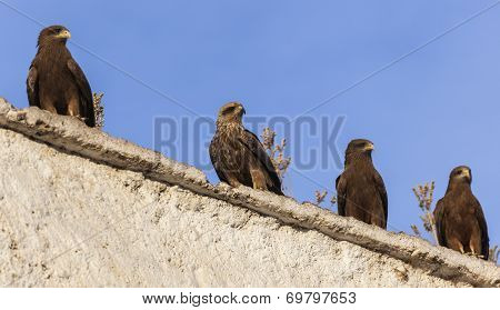 Lanner Falcons On The Walls Of Camel Meat Butchery In Walled City Of Jugol. Harar. Ethiopia.